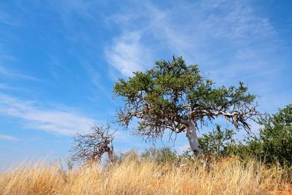 African shepherd's tree (Boscia albitrunca)