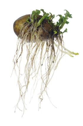 germinating potato