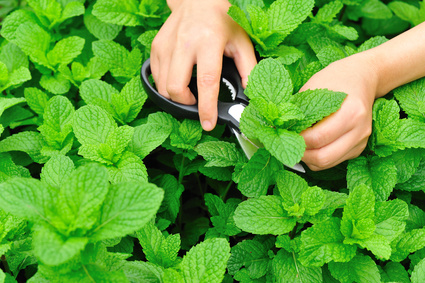 woman hands picking mint leaves in garden