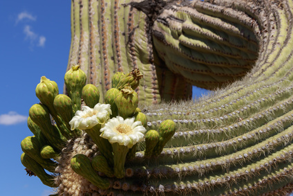 Close up of Saguaro Cactus blooming with blue sky background