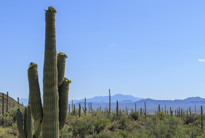 Many Saguaro Cacti blooming in the desert with blue sky and mountain background