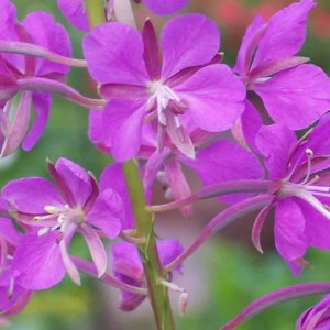 Fireweed-Up-Close---Copy