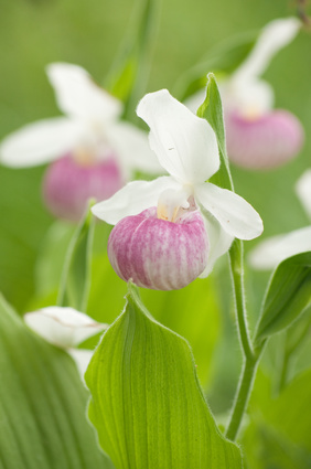 lady slipper trio