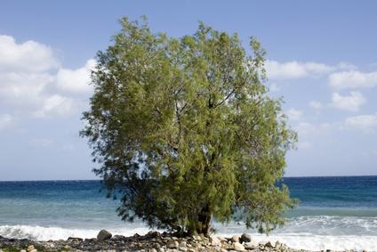 Common greek tree - Lonely Saltcedar (Tamarisk) - Crete