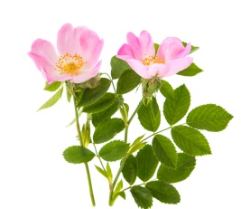wild rose isolated