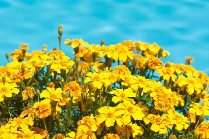Signet Marigold