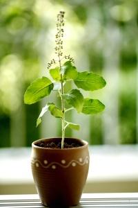 Holi basil plant