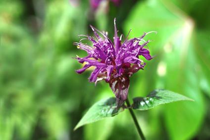 Violet Monarda flower