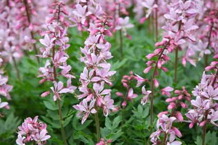 Pink Dictamnus albus flowers