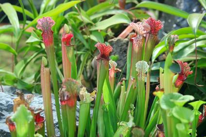 Sarracenia. Exotic flower