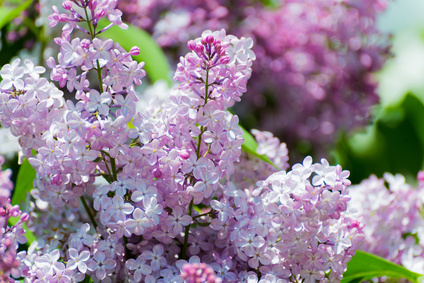 Lilac blossoms in the Park at spring
